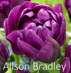 Alison Bradley