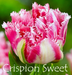 Crispion Sweet