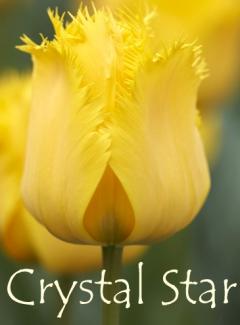 Tulipa Crystal Star