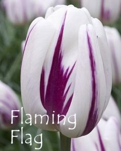 Flaming Flag