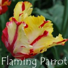 Flaming Parrot