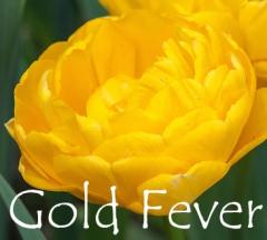 Tulip 'Gold Fever'