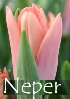 Neper