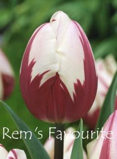 Rem's Favourite
